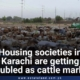 Housing Societies In Karachi Are Getting Troubled As Cattle Market